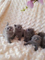 BKH a Kitten ab SOFORT