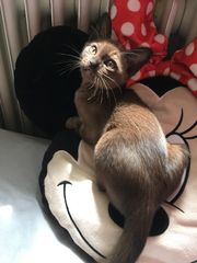 Burma kitten Weibchen