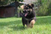 Deutscher Schäferhund - Welpen zum Verkaufen