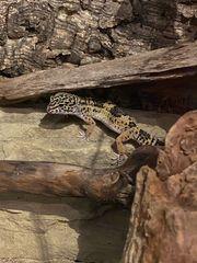 Leopardgeckos Nachzucht Mai 2020