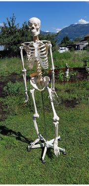 Anatomie Skelett