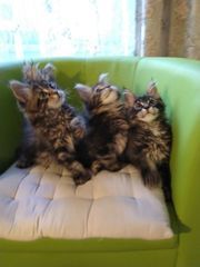 MCO Kitten gesund reinrassig Reservierung