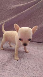 Chihuahuawelpen in Sonderlackierung