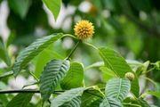 Kratom plant Mitragyna speciosa