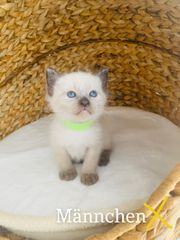 Siam Kitten Babys