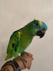 Super zahme Blaustirnamazonen Handaufzuchten Papagei