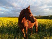 Lieber 5jähriger Quarter Horse Wallach