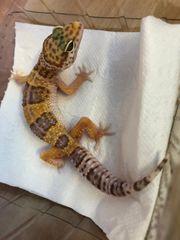 1 2 Leopardgeckos abzugeben ENZ