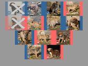 Welpen - American Bulldog Boxer Mix