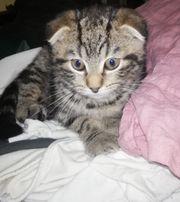 Scottish Fold Britisch Kurzhaar Kitten