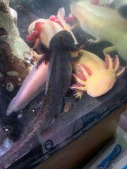 axolotle