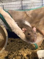 Verkaufe Ratte