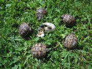 Griechische Landschildkrötenbabies zu verkaufen