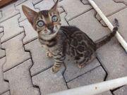 Wunder schöne Bengalkatzen