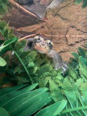 Wasserschildkröte Rotbauch-Spitzkopfschildkröte komplett mit Aquarium