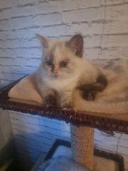 reinrassige bkh kitten mit schönen