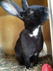 Schwarzes Rex Kaninchen 5 Monate