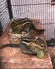 Junges weibliches Baumstreifenhörnchen