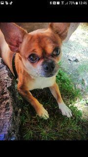 ein kleiner Chihuahua Mischling sucht