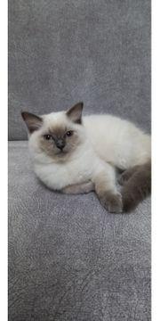 Reinrassige Ragdoll kittis