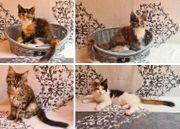 Maine-Coon-Katzen die sanfte Riesen 4