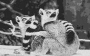 Vorlage für Ministeck Katta Affen