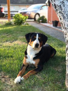 Reinrassiger Appenzeller Deckrüde mit Erfahrung: Kleinanzeigen aus Hamburg Bergedorf - Rubrik Hunde
