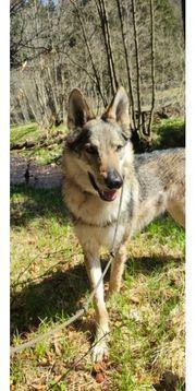 tschechischer wolfshund