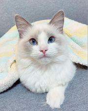 Ragdoll Kitten mit wunderschönen blauen