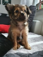Jack-russel-chihuahua Welpen