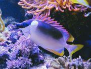 Andamanenfuchsgesicht Siganus magnificus Meerwasser