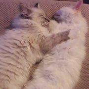 Meine Ragdol-Kätzchen sind bereit für