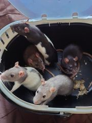 Rattenböcke suchen neues Zuhause