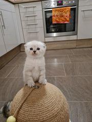 3 süße reinrassige BKH-Kitten zu