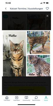 Premium Bengal kitten