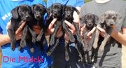 8 süsse Hundewelpen