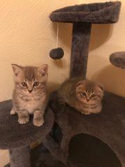 Katzenbabys Schottisch Fold