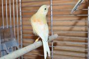 Kanarienvogel Henne Zitronengelb