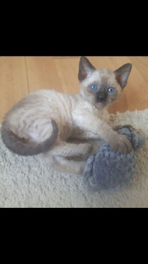 Devon Selkirk Rex Kitten