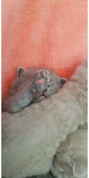 5 süße BKH kitten