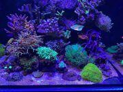 Korallen Hydnophora Hysterix Affenhaar etc
