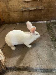 Deutsche Riesen hasen Kaninchen