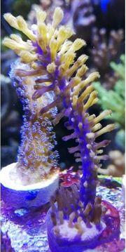 Meerwasser Plexaurella Gorgonie