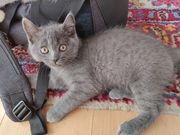 2 BKH-Kitten - Stubenrein