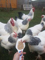 Sundheimer Hühner Bruteier