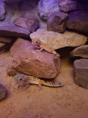 2 Leopardgecko Weibchen - auf Wunsch