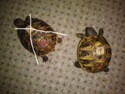Griechische Landschildkröten THB und Griechische