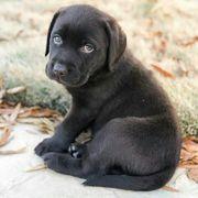 guter und hochwertiger Labrador Retriever