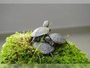 2 kleine Europäische Sumpfschildkröten - Emys