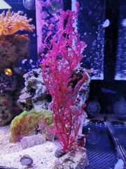 Meerwasser Ableger Weichkorallen Pilzlederkoralle Keniabäumchen